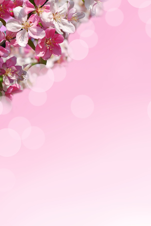 Photo pour branch of fruit tree with blooming flower in the upper corner of pink gradient background - image libre de droit