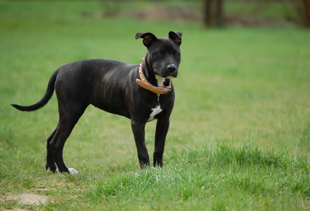 black and white american pitbull terrier
