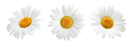 Photo for Daisy flower isolated on white background as package design element - Royalty Free Image