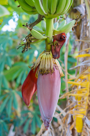 banana flower on the tree
