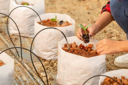 Photo pour Hands holding beautiful melon seedling with ground and roots. It is ready for planting in hydroponic bags. - image libre de droit
