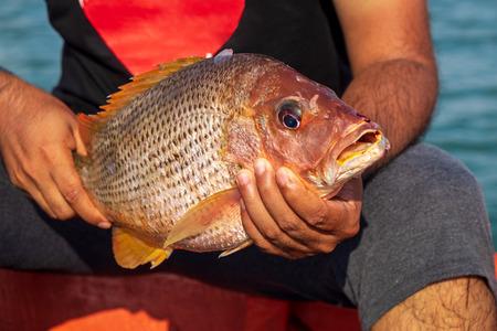 Photo pour Fisherman Holding Medium Size Snapper Fish After Catch form the Sea. - image libre de droit