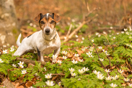 jack russel on spring forest - 10 years old