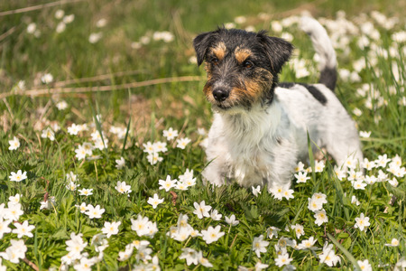 Dog stands in flowers - jack russell two years old