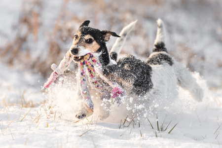 Foto de Jack Russell Terrier - dog playing in the snow with toys - Imagen libre de derechos