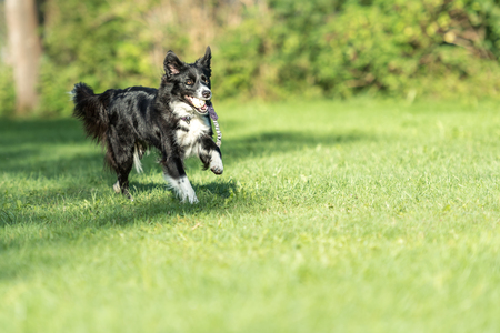 Border collie dog runs happily with a toy in the mouth and plays
