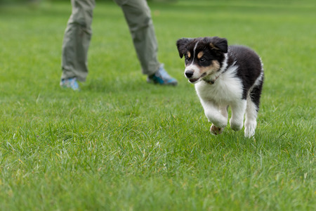 Dog handler is busy with his Border collie puppy. Doggy 8 weeks old