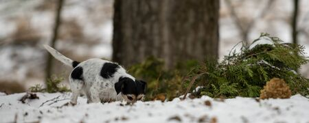 Photo pour Purebred tricolor Jack Russell Terrier nose  is following  a track in the snowy winter . Cute little dog follows a trail on a path between trees in the forrest - image libre de droit