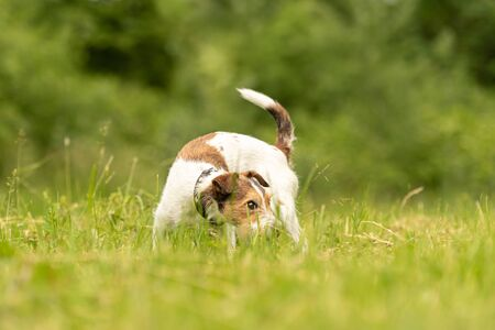 Photo pour beautiful little Parson Russell Terrier follows a good smelling trail in spring on a meadow - image libre de droit