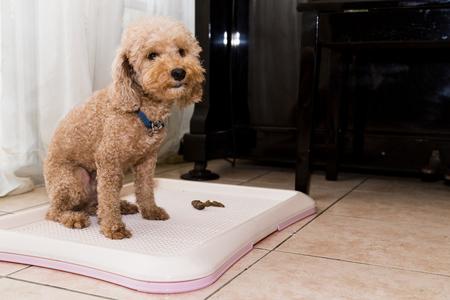 Photo pour Poodle dog next to indoor training toilet tray with poop faeces - image libre de droit
