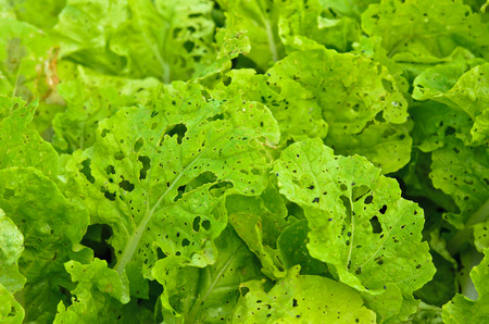 Diseases and insect pests of lettuce leaves