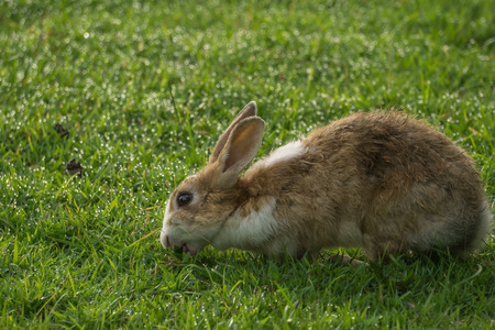 Brown rabbit on the green grass background.