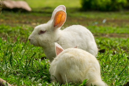 white rabbits on the green grass background.