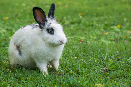 While rabbit with black ears are on the green.