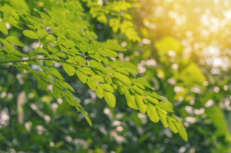 Foto de Defocused of limb and leaves moringa with sunlight in nature background. - Imagen libre de derechos