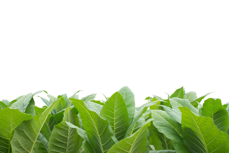 Photo pour Green tobacco field, Tobacco plantation ; on  white background. - image libre de droit