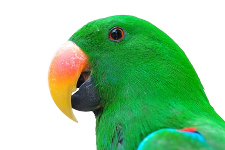 Closeup head Male eclectus parrot isolated on white