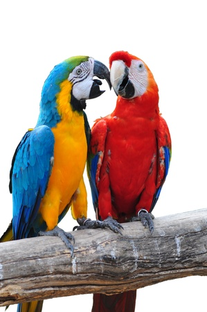 colorful parrot love bird macaw isolated on white background