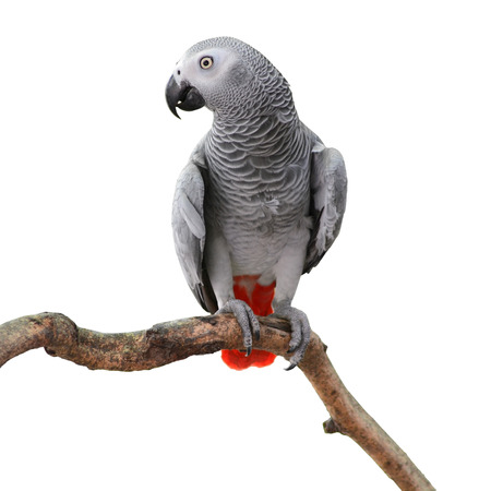 Beautiful grey parrot, African Grey Parrot (Psittacus erithacus), standing on a branch, white background