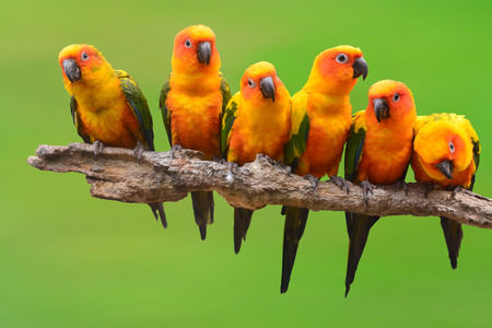 Six of Sun Conure Parrot bird perching on a branch