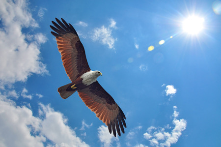 Photo pour Brahminy Kite showing wing spread on sky and sun background - image libre de droit