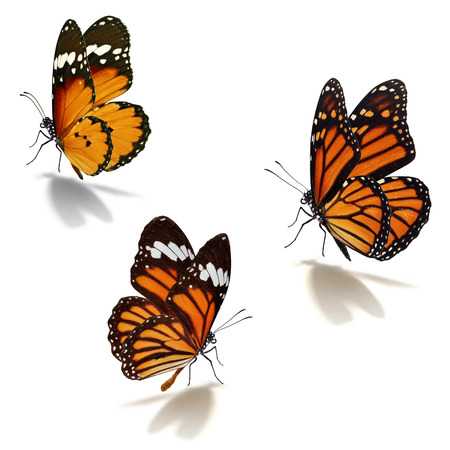 Photo pour Three orange monarch butterfly isolated on white background - image libre de droit
