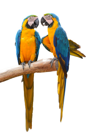 Couple of blue and gold macaw parrots isolated on withe background