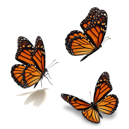 Photo pour Beautiful three monarch butterfly, isolated on white background - image libre de droit