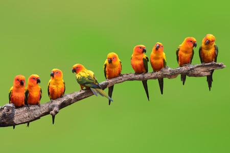 Photo pour Nine of Sun Conure Parrot bird perching on a branch on green background - image libre de droit