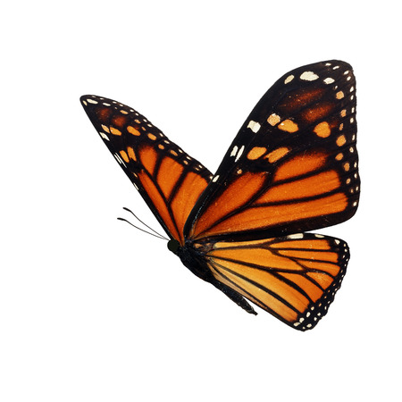 Foto de Beautiful monarch butterfly isolated on white background. - Imagen libre de derechos