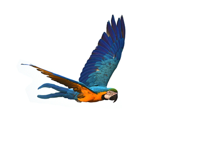 Foto de Blue and gold macaw (Ara ararauna) bird in flight. - Imagen libre de derechos