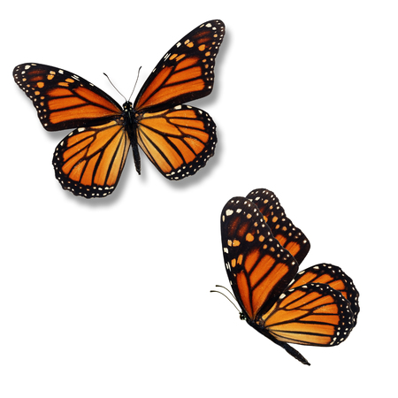 Photo for Beautiful two monarch butterfly isolated on white background. - Royalty Free Image