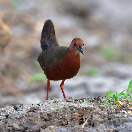 Photo pour Beautiful Bird, Ruddy-breasted Crake (Porzana fusca) standing on a ground. - image libre de droit