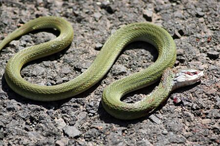 A green snake slithering wildly as it is dying due to its head bleeding from injuries.