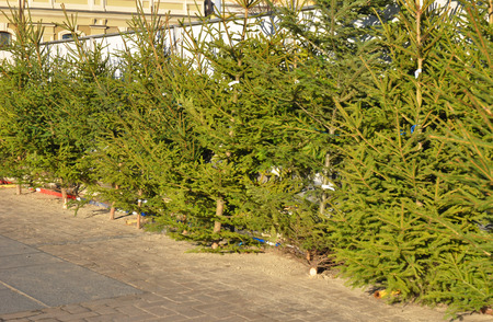 Photo for Fresh balsam fir Christmas trees for sale on the fir market. Choose the perfect Christmas tree. - Royalty Free Image