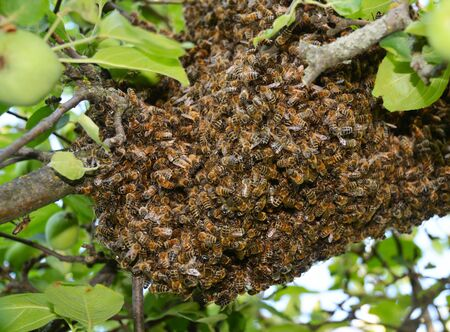 Photo pour Swarm of bees close up. Swarm of bees on the tree.  Swarm Catching - image libre de droit
