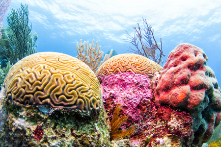 Photo for Colorful Coral Reef, Belize - Royalty Free Image