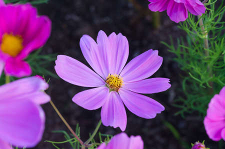 Flower in the garden, violet nature flower