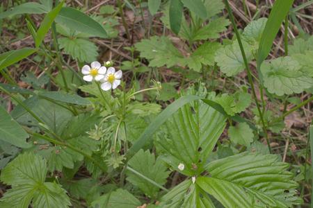 wild strawberries white flowers hidden in thick grass