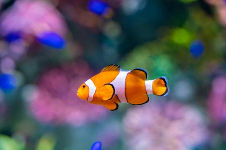 Photo pour Nemo clown fish in beautiful coral reef marine aquarium - image libre de droit