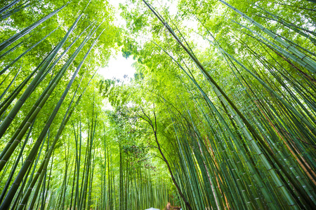 Photo pour Green bamboo forest background in Arashiyama Kyoto sightseeing in Japan - image libre de droit