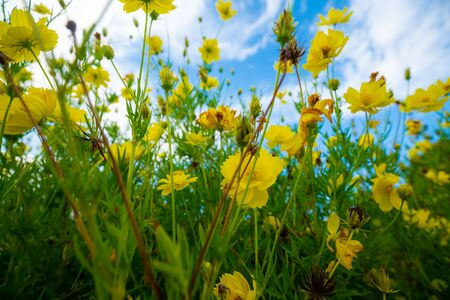 Photo pour Yellow flower garden green leaf against blue sky with cloud in morning - image libre de droit