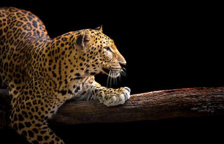 Photo pour The leopard roars and sees fangs preparing to fight or defend. - image libre de droit