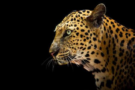 Photo pour The leopard looks beautiful on a black background. - image libre de droit