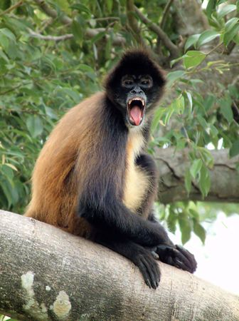 A type of primate, staring open mouthed.