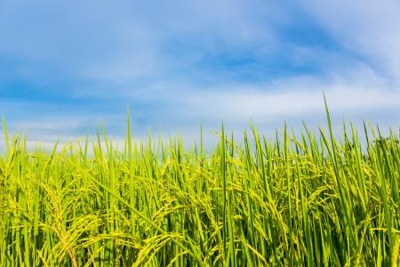 Photo pour rice field with the blue sky - image libre de droit