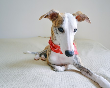 Foto de A whippet dog laid on the bed, with a red scarf around the neck - Imagen libre de derechos