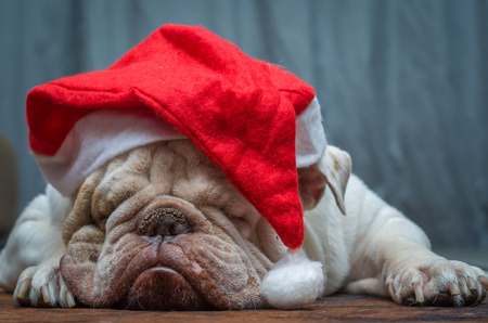 Foto de Cute English Bulldog sleeping in a Christmas hat - Imagen libre de derechos