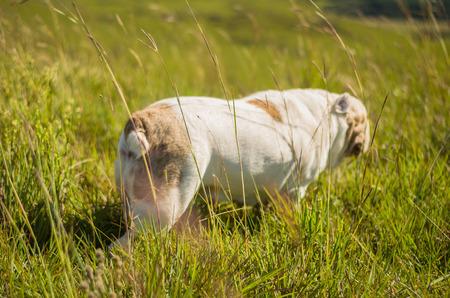 Foto de Cute English Bulldog playing on green grass - Imagen libre de derechos