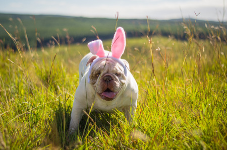 Foto de Great concept of Easter. Cute English bulldog breed dog dressed as Easter bunny running on the lawn. - Imagen libre de derechos